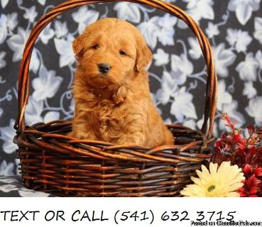 Fantastic !!&^% Goldendoodle Puppies Available