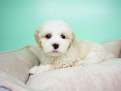 Maltipoo PUPPY FOR SALE ADN-105265 - Maltipoo Male Aspen