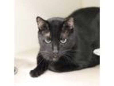 Adopt Blackjack a All Black Domestic Shorthair / Domestic Shorthair / Mixed cat