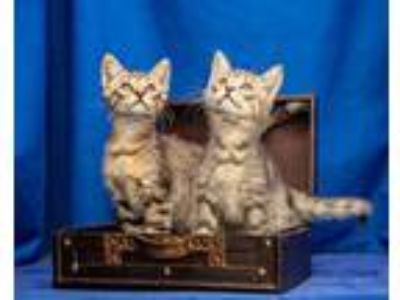 Adopt Jett (pictured left) a Domestic Short Hair