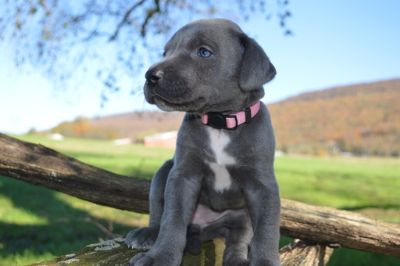 Great Dane PUPPY FOR SALE ADN-103608 - AKC Great Danes