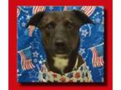 Adopt Laney *LOCAL* a Brindle - with White Dutch Shepherd / Mixed dog in