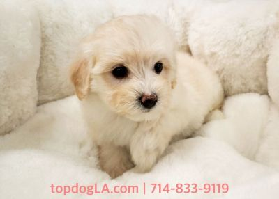 Maltipoo Puppy - Female - Polly ($1,250)