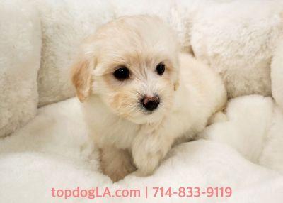 Maltipoo Puppy - Female - Polly ($1,250)