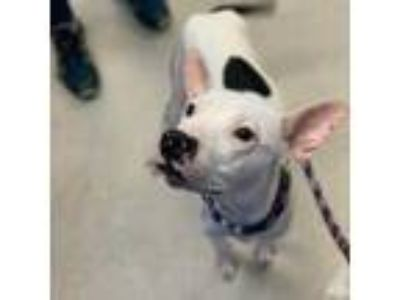 Adopt Tootles a White American Staffordshire Terrier / Mixed dog in Washington