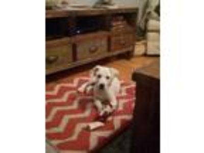 Adopt Carlton a White Labrador Retriever / Beagle / Mixed dog in Thomasville