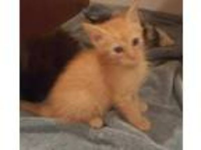 Adopt JackJack KITTEN SHOWER ATTENDEE a Orange or Red Domestic Shorthair /