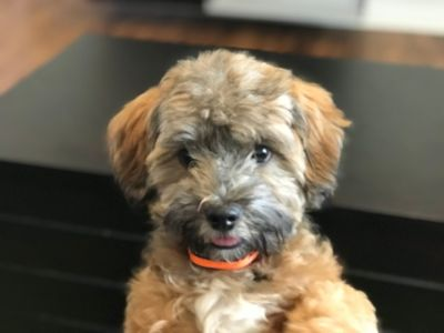 Lhasa-Poo PUPPY FOR SALE ADN-91397 - Adorable Pup Needs a FOREVER home