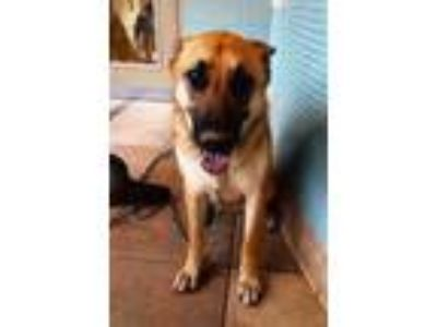 Adopt DUTCHESS a Black - with Tan, Yellow or Fawn German Shepherd Dog / Mixed