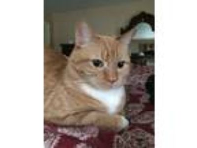 Adopt Piper a Orange or Red Tabby American Shorthair / Mixed cat in Penfield