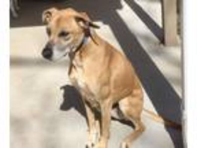Adopt Peanut a Brown/Chocolate - with White Boxer / Whippet / Mixed dog in