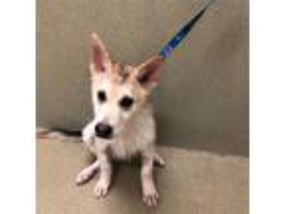Adopt Neko a German Shepherd Dog / Siberian Husky / Mixed dog in Napa