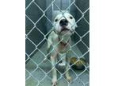 Adopt Blitzen a White Terrier (Unknown Type, Small) / Mixed dog in Lancaster