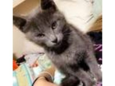 Adopt Ash a Gray or Blue Russian Blue / Mixed cat in Clinton, TN (23151865)