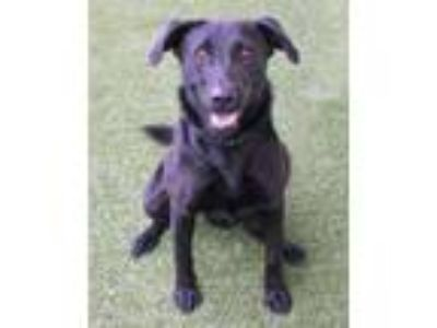 Adopt Deana a Black German Shepherd Dog / Mixed dog in Loxahatchee
