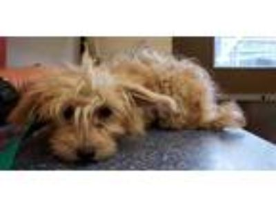 Adopt CUPCAKE a White Poodle (Miniature) / Silky Terrier / Mixed dog in