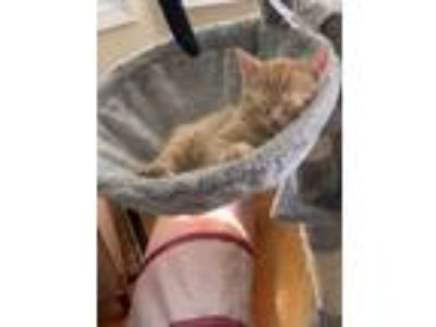 Adopt Duncan a Orange or Red Tabby Domestic Shorthair cat in Jersey City