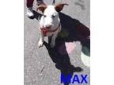 Adopt MAX a White Labrador Retriever / Mixed dog in Franklin, NC (21435543)
