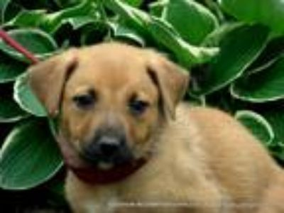 Adopt DAPHNE/ADOPTED a Tan/Yellow/Fawn - with White Golden Retriever / Shepherd