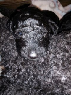 Poodle (Standard) PUPPY FOR SALE ADN-108048 - Ready for Christmas