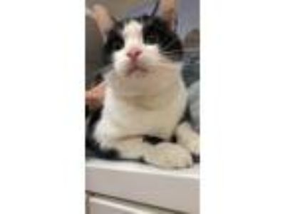 Adopt Oakley a Domestic Shorthair / Mixed cat in Stratham, NH (25360460)