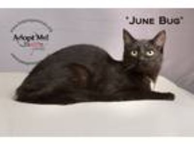 Adopt June Bug a Black & White or Tuxedo Domestic Shorthair (short coat) cat in