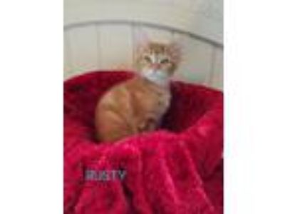 Adopt RUSTY a Tabby, Domestic Short Hair