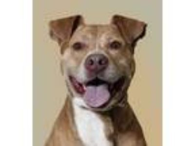 Adopt Percy a Brown/Chocolate American Pit Bull Terrier / Mixed dog in
