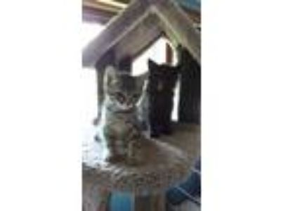 Adopt Nick and Norm a American Shorthair, Tabby