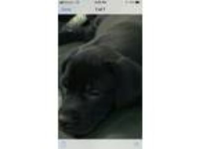 Adopt Destiny a Black Labrador Retriever / Mixed dog in Staten Island