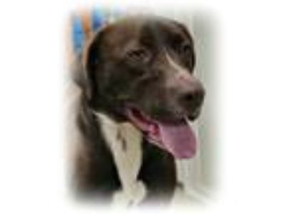 Adopt Sylas a Chocolate Labrador Retriever