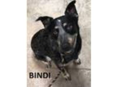 Adopt Bindi a Australian Cattle Dog / Blue Heeler, Mixed Breed