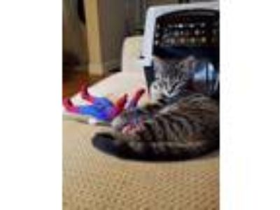 Adopt Maly (small one) a Gray or Blue American Shorthair / Mixed cat in