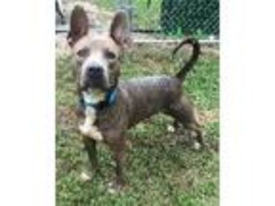 Adopt Thor a Gray/Blue/Silver/Salt & Pepper Pit Bull Terrier / Mixed dog in