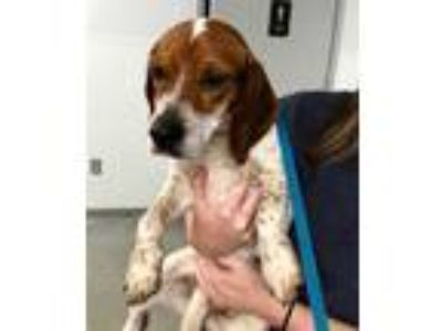 Adopt BELLA a White - with Black Beagle / Mixed dog in Lincolnton, NC (25265057)