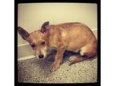 Adopt Leo a Wirehaired Dachshund