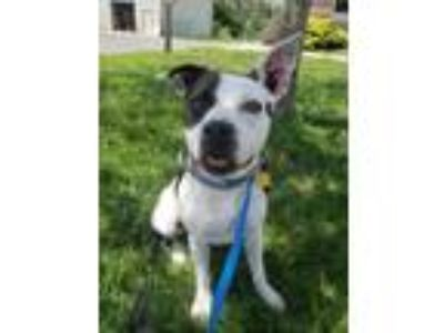 Adopt Harmony aka Yoko a Boxer / Pit Bull Terrier / Mixed dog in Vineland