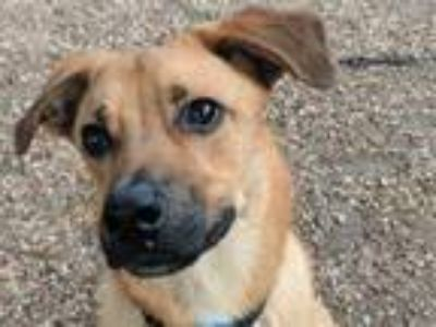 Adopt SHILOH a German Shepherd Dog, Labrador Retriever