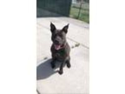 Adopt Annabelle a Brindle American Pit Bull Terrier / Mixed dog in Cheyenne