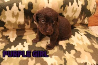 Labrador Retriever PUPPY FOR SALE ADN-62846 - Chocolate Labrador Retriever Puppies