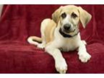 Adopt Peaches a Great Pyrenees