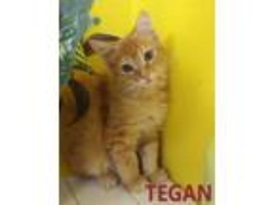 Adopt Tegan a Domestic Short Hair