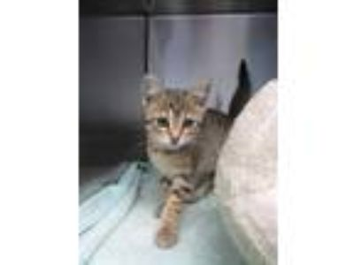 Adopt FOXY a Brown Tabby Domestic Shorthair / Mixed (short coat) cat in