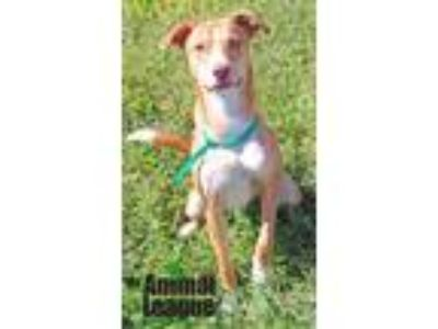 Adopt Waffles a Red/Golden/Orange/Chestnut - with White Hound (Unknown Type) /