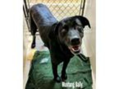 Adopt Mustang Sally a Labrador Retriever