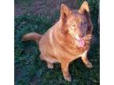 Adopt Red a Husky, German Shepherd Dog