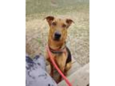 Adopt Winston a Hound (Unknown Type) / Mixed dog in St. Charles, MO (24720254)