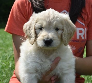 Goldendoodle PUPPY FOR SALE ADN-80013 - Goldendoodle Puppies Just In Time for Fathers Day