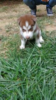 Siberian Husky PUPPY FOR SALE ADN-93345 - Husky Puppies