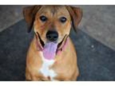 Adopt Ashley a Rhodesian Ridgeback, Labrador Retriever